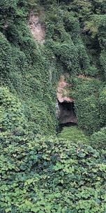 Kuzu, zwana również kudzu – niezwykła roślina – oczyszcza organizm z toksyn, zwalcza nałogi, wzmacnia odporność
